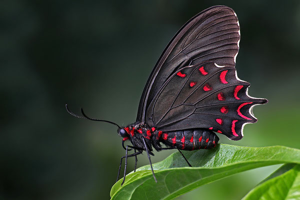 Pink-spotted Cattleheart