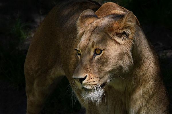 Der Löwe.