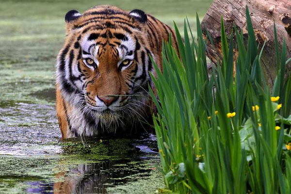 Sibirischer Tiger.