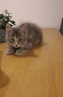 Katze Rigei
