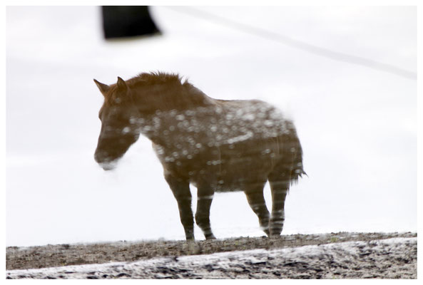 Dülmener Wildpferd an See, Spiegelung, 180° gedreht