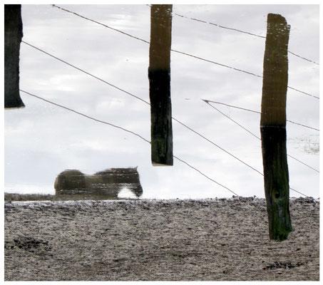 Dülmener Wildpferd , Spiegelung in Wasseroberfäche mit Zaun, 180° gedreht