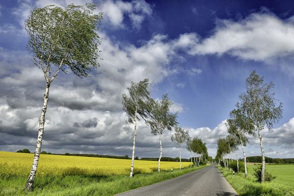 Birkenallee mit Rapsfeld. Landschaftsfoto von Jürgen Müller