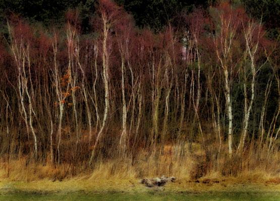Birkenwald, Landschaftsfoto von Jürgen Müller