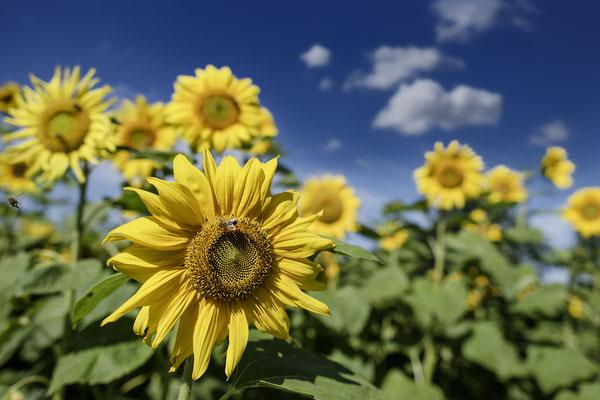 Sonnenblumen, Foto von Jürgen Müller