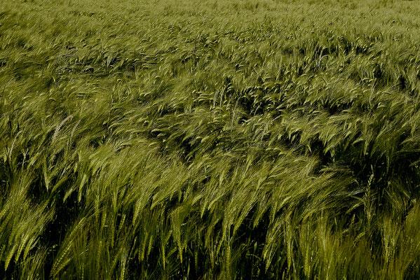 Gerste im Wind, Landschaftsfoto von Jürgen Müller