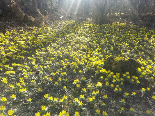 Der Garten blüht im Frühjahr mit einem Meer aus gelben Winterlingen