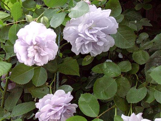 5月10日様子バラ・レイニーブルー、これは青バラなのに丈夫な気がする。お気に入りです!