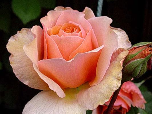 ヴェルシーニ この花色好みなので2枚載せます!
