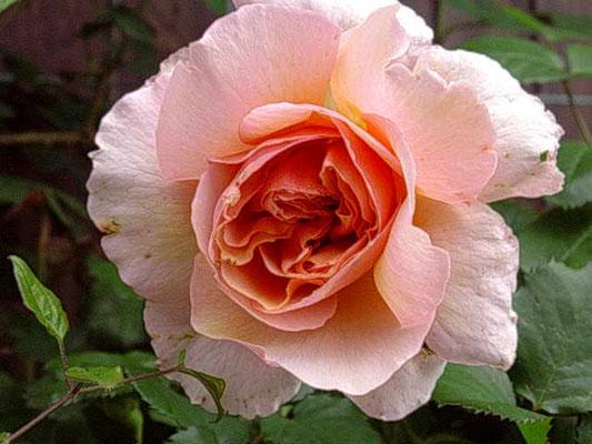 ヴェルシーニ フランスのギョー社のバラです