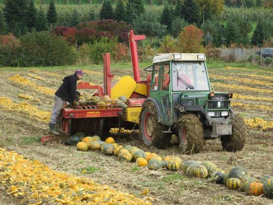 Die Erntemaschine sammelt die Kürbisse auf...