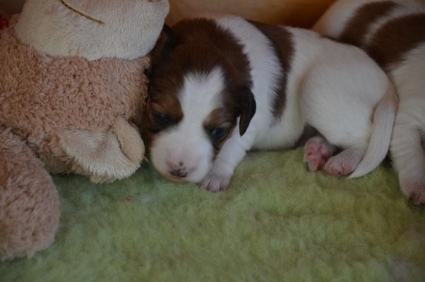 Ànaegh (Puppy Nr.2)