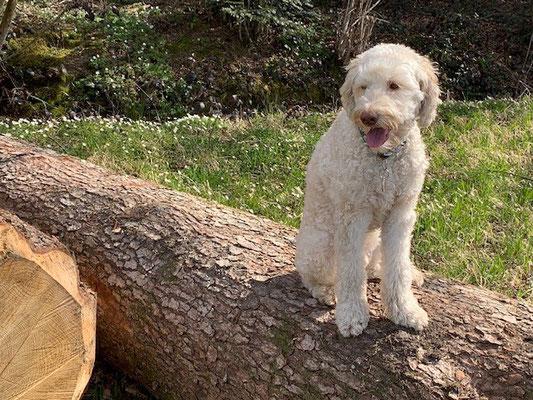 Sozialhund geniesst den Waldspaziergang