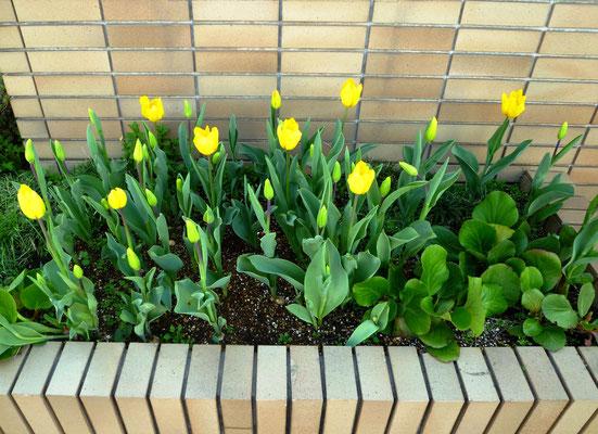 教室花壇(チューリップも咲いてます。)