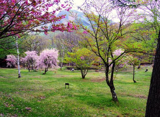 立岩高原ビレッジの枝垂桜