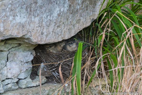 Nest unter einem Wehr am Kraichbach