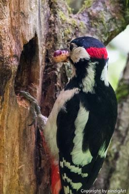Specht beim Füttern an seiner Bruthöhle im Totbaum.