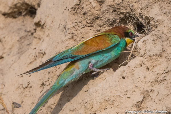 Die Altvögel kriechen noch in die Höhle. Wenn die Jungen größer sind kommen sie an den Eingang und stehen dort Schlange.