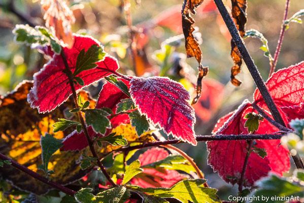 Erster Reif auf den Blättern