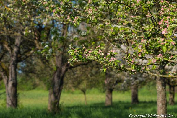 Apfelblüte zwischen Unter- und Oberöwisheim.
