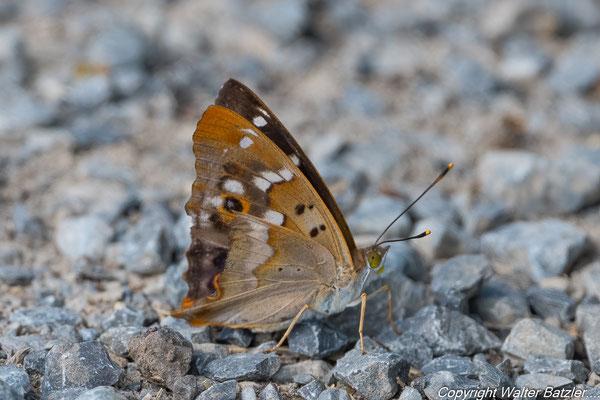 Kleiner Schillerfalte mit etwas ramponiertem Flügel