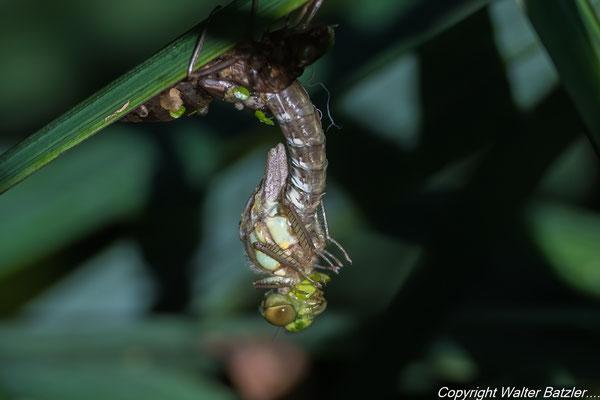 Die Libelle bricht aus der Larve heraus.