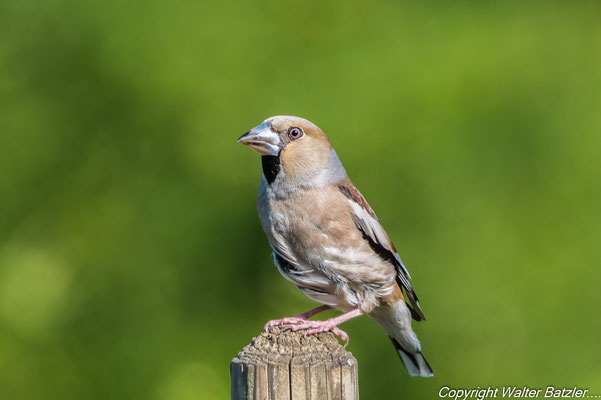 Kernbeißer etwas älter, aber das Gefieder ist noch nicht so farbeintensiv wie bei den Altvögeln.