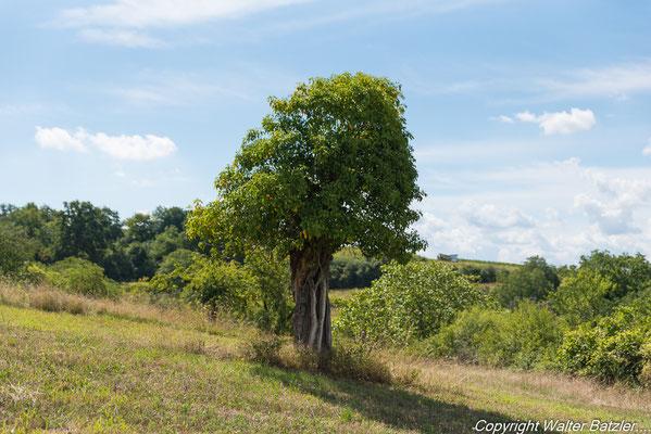 Totbaum mit Efeu überwuchert, bietet Unterschlupf für Tiere.