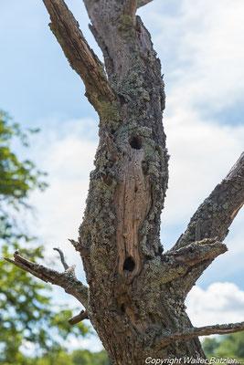 Spechthöhlen im Totbaum.