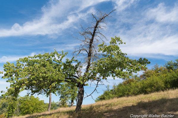 Absterbender Baum der noch viel Leben spenden kann...