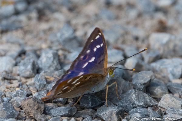 Die Oberseite der Flügel schillern blau wenn man sie aus einem bestimmten Winkel betrachet...