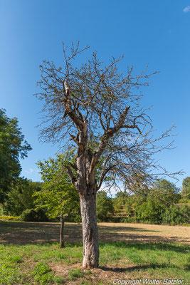 Dieser alte  Baum war in den letzten Jahren ein Zuhause für viele Höhlenbrüter...
