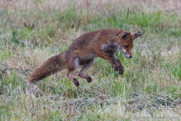Fuchs bei der Mäusejagd