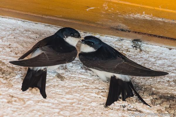 Frisch verliebtes Schwalbenpaar bei der Grundsteinlegung für ein gemeinsames Nest