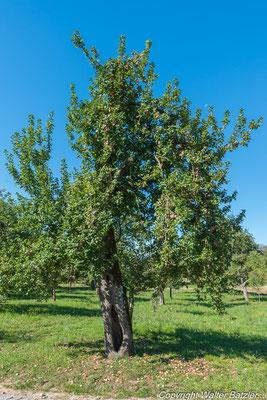 Obwohl der alte Baum völlig ausgehöhlt ist, trägt er immer noch viele Früchte...