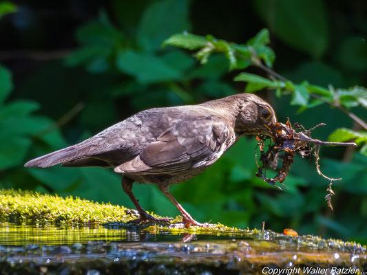 Amsel Weibchen sammelt Material für den Nestbau