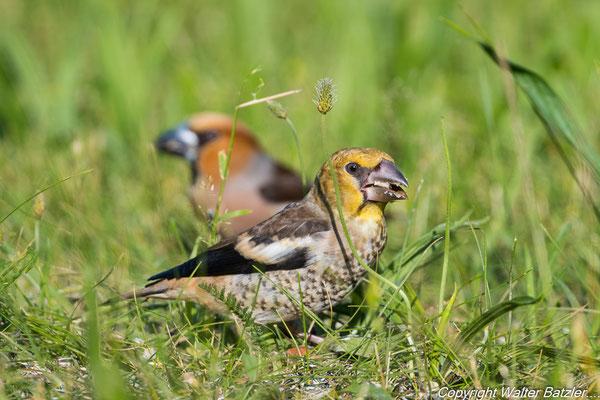 Kernbeißer Jung- und Altvogel