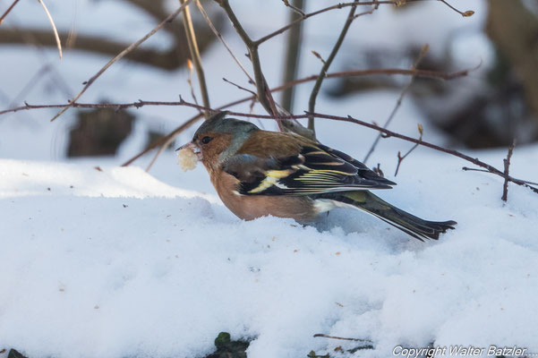 Auch Buchfinken suchen ihre Nahrung überwiegend am Boden