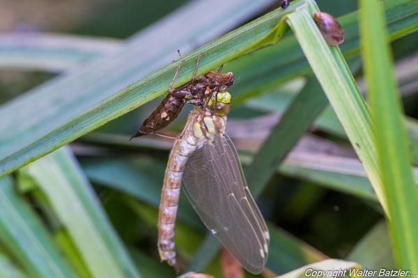 """Die Libelle """"entfaltet"""" sich."""