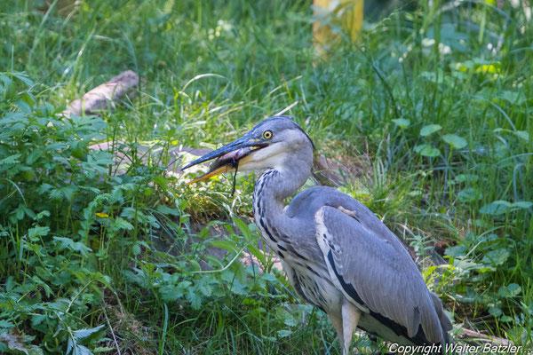 Erfolgreiche Jagd am Pfannwaldsee