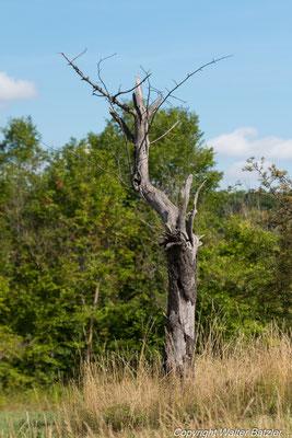 Hinter der abgeplatzten Rinde finden Fledermäuse, Baumläufer und viele andere Tiere Schutz und Nistmöglichkeiten.