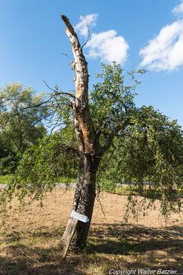 In diesem absterbenden Apfelbaum.....