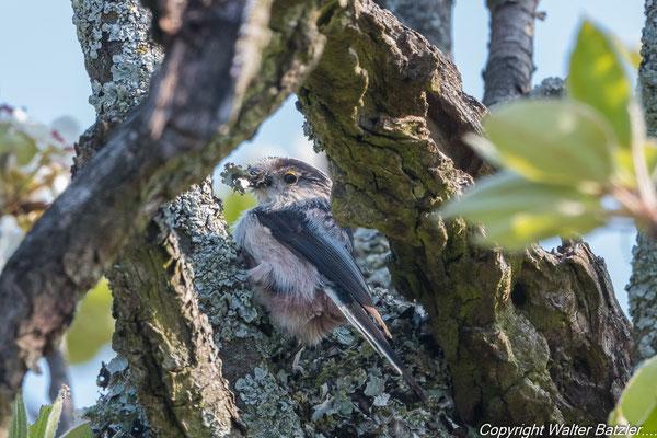 Schwanzmeise beim Nestbau
