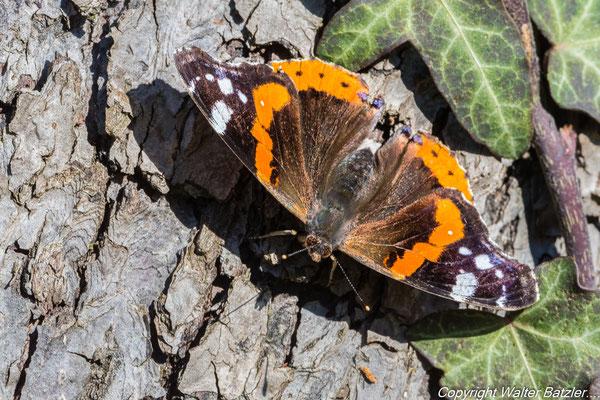 Der erste Schmetterling: ein Admiral