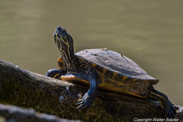 Schmuckschildkröte beim Sonnenbad am Pfannwaldsee