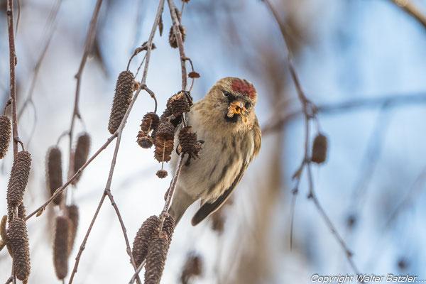 Birkenzeisig Weibchen (hat keine rote Brust)