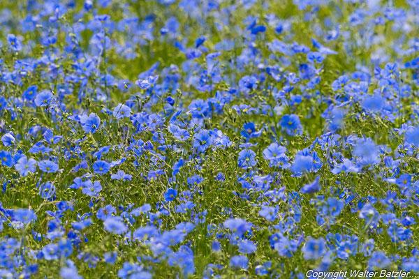 Blaue Leinpflanze