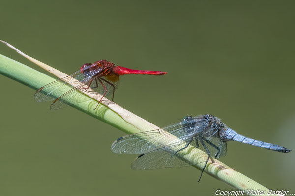 Feuerlibelle und Plattbauchlibelle