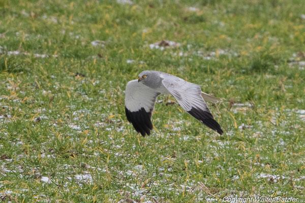 Kornweihen Männchen beim Jagdflug...