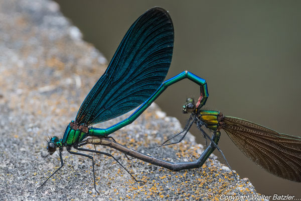 ...das Weibchen biegt den Hinterleib nach vorne und nimmt den Samen auf.